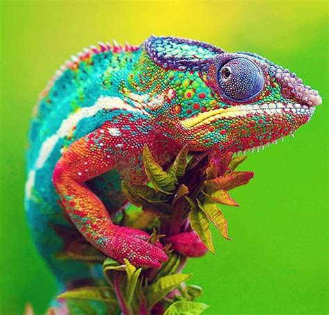 colorful animals dieren leguanen en hagedissen animals iguanas and