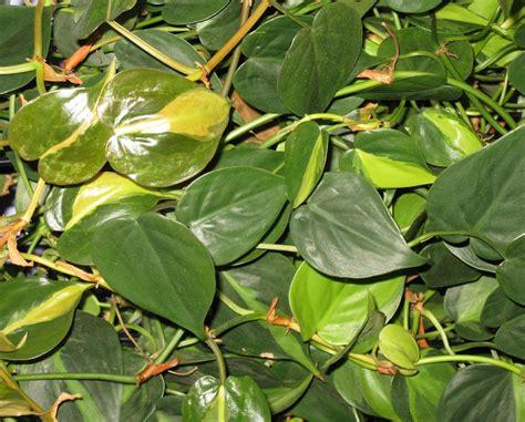 Supérieur Plantes Grimpantes D Interieur #8: Philodendron-panachc3a9-feuillage2.jpg