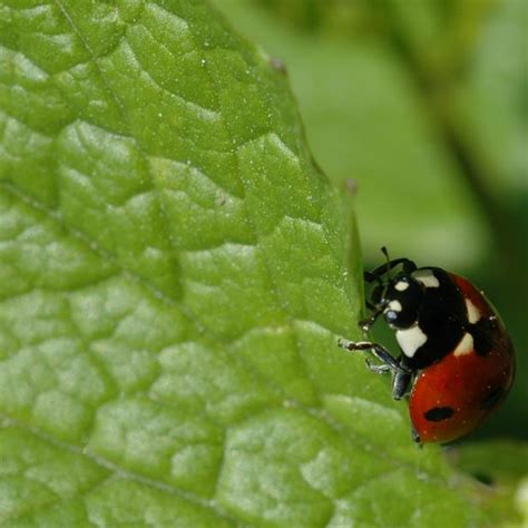 where to find ladybugs in your backyard find out what ladybugs eat hgtv