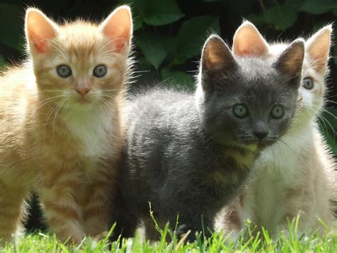cute kitten themes for windows 7 kittens wallpapers pets cute and docile