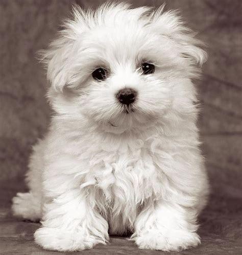 cani piccola taglia da appartamento il maltese di piccola taglia da appartamento e da