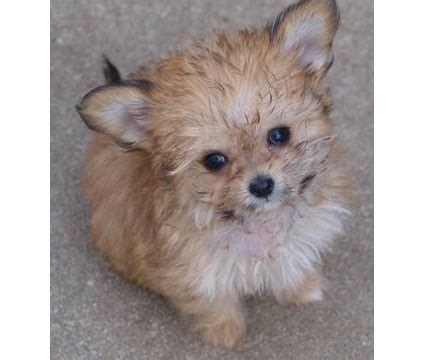 chi poo puppies choodle chi poo oodle poodle hybrid poodle mix doodle puppy pinned by