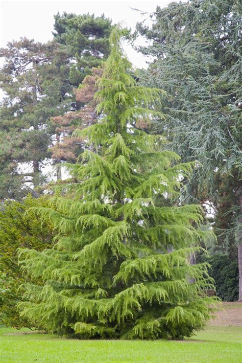cedar trees growing the deodar cedar cedrus deodara