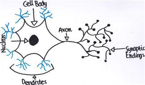 Section 49 1 Review Neurons And Nerve Impulses the spinal cord neurons that carry impulses to the spinal cord and brain