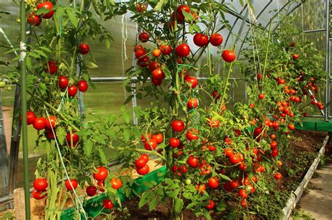 How Far Apart To Plant Tomatoes? Getting A Plentiful