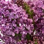new at fiftyflowers fresh lavender premium purple lilac flower