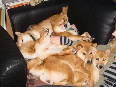 puppy pile pile meme collection