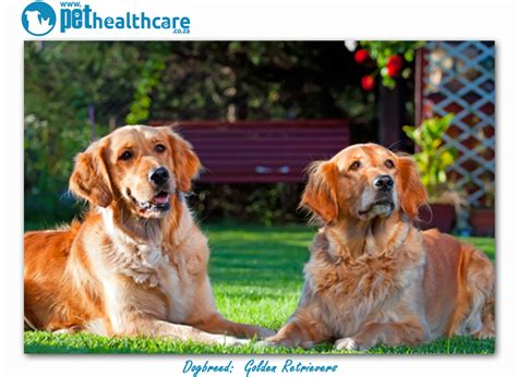 golden retriever breeders south africa top breeds in south africa golden retrievers pethealthcare co zatop breeds