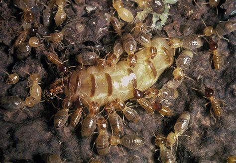 Pembasmi Lalat Nyamuk Kecoa Semut Paling Uh cara menghilangkan rayap termax jasa anti rayap jasa