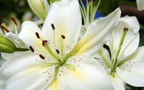 flowers wallpapers white lilies flowers wallpapers