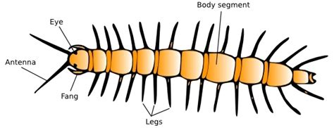 labelled diagram of a millipede introduction to centipedes entomologists