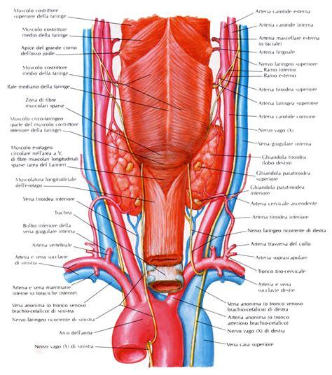 vene della testa tiroide medicinapertutti it