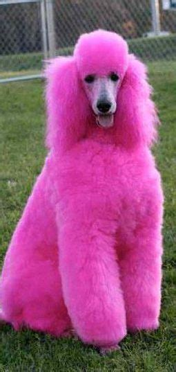 pink puppies best 25 pink poodle ideas on poodle hair poodle grooming and poodle cuts