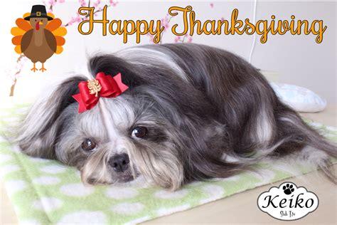 thanksgiving shih tzu keiko shih tzu