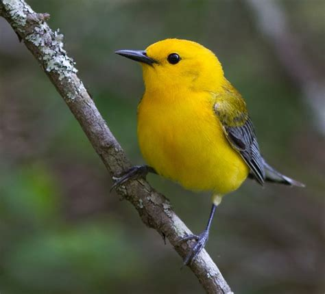 protecting the prothonotary warbler in ontario the