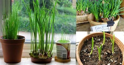 how to a to indoors how to grow garlic indoors growing garlic indoors balcony garden web