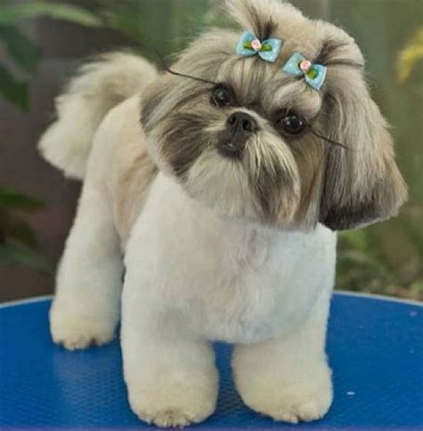 shih tzu puppy grooming shih tzu shih tzus and tips on