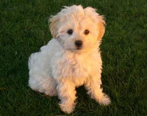 golden retriever bichon mix miss tussie the shih tzu mix on the hunt