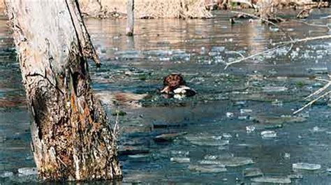 how to your to retrieve ducks your gun dogs big duck retrieve