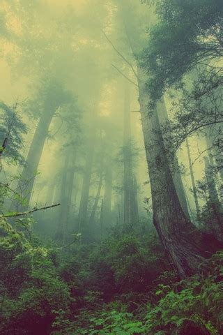 wallpaper forest fog trees mist green  nature