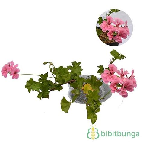 tanaman geranium pink bibitbunga