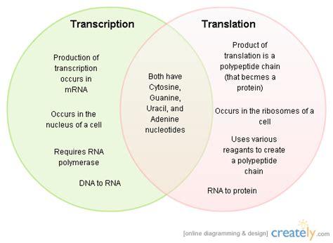 venn diagram comparing dna and rna translation v transcription venn diagram creately