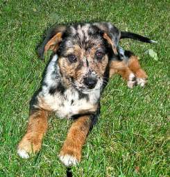 Catahoula leopard dogs dogs by paul