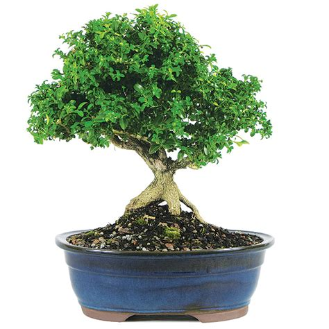 bonsai care manual dwarf kingsville boxwood bonsai care