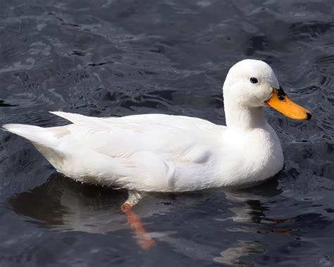 duckling image h d wallpapers duck