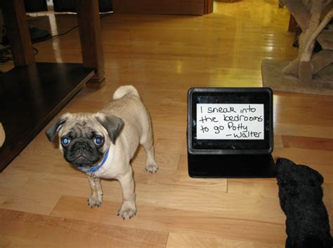 snl pug hilarious these 17 ill behaved pugs just got shamed by their owners page 2 of 11