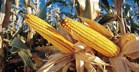 Crop Panel Ban efsa rejects move to ban gm crop in europe