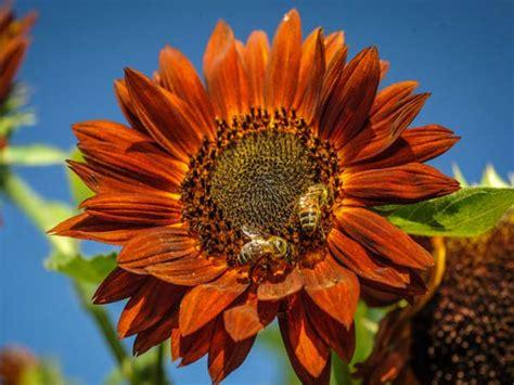 Sun Flower Overall 1 sun sunflower baker creek heirloom seeds
