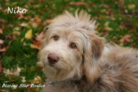 doodle rescue petfinder aussiedoodles dogs and more