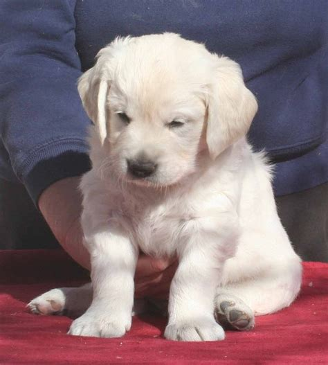 puppy for free golden labrador puppies for free adoption