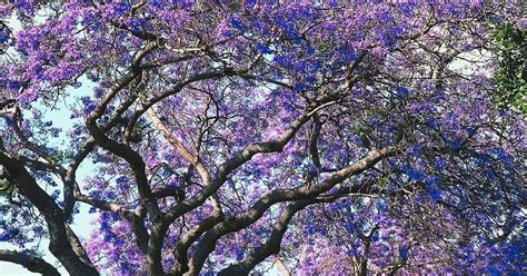 flowering trees with clusters of purple bell shaped