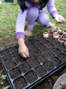 Pupuk Untuk Bunga Tapak Dara cara menanam bunga matahari bunda