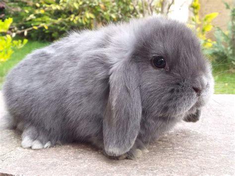 allevamento casa fabri cuccioli conigli nani ariete casa fabri a a roma
