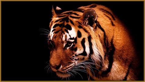 imagenes en 3d de tigres fondos de pantalla tigres bebes archivos imagenes de tigres