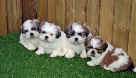 shih tzu litter stunning litter of shih tzu pups for sale carmarthen carmarthenshire pets4homes
