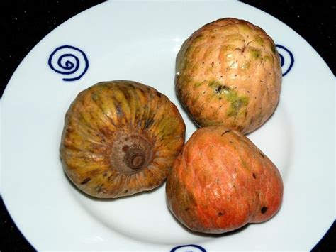 borne fruit definition 17 best images about what to grow in belize on pinterest