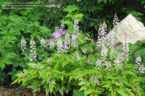 iron butterfly flowers and plantfiles pictures foamflower iron butterfly tiarella