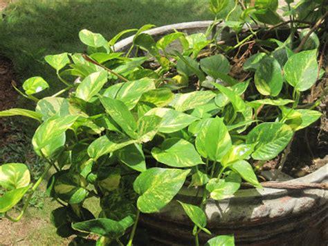 Pohon Tanaman Sirih Gading Centong jual tanaman sirih gading sri gading tanaman rambat tukang taman