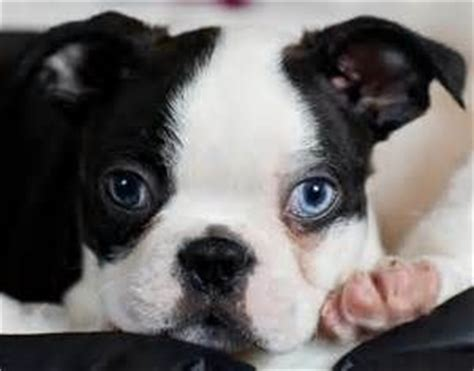 boston terrier puppies for sale in md best 25 boston terrier for sale ideas on frenchie puppies for sale baby