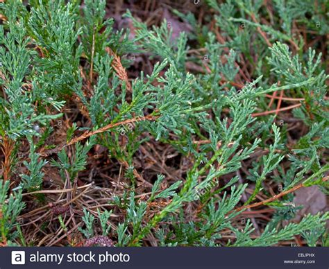 creeping juniper blue rug blue rug juniper creeping juniper creeping cedar juniperus stock photo royalty free image