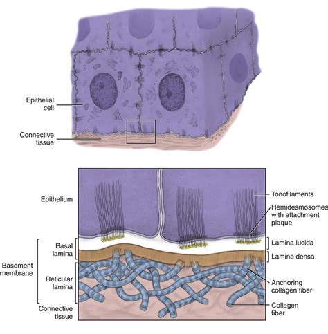 basement membrane epithelium 8 basic tissue pocket dentistry