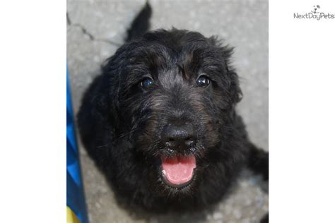 black goldendoodle puppies for sale black goldendoodle puppies goldendoodle puppies for sale breeds picture