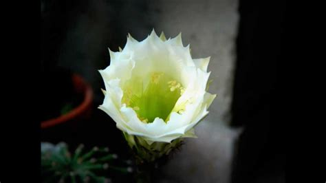 foto di un fiore nascita di un fiore