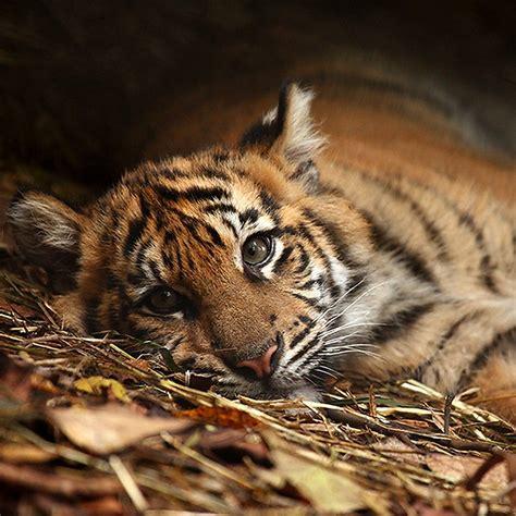 Karet Filter Tiger tiger by daniela 1024x1024 wallpapers 1024x1024