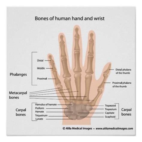 bones   hand labeled diagram poster zazzlecom