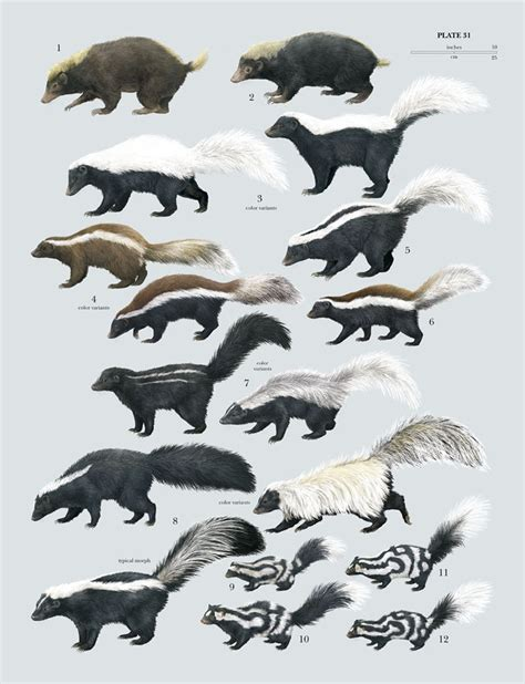 Prints Spotted In World by Family Mephitidae Skunks Lynx Edicions
